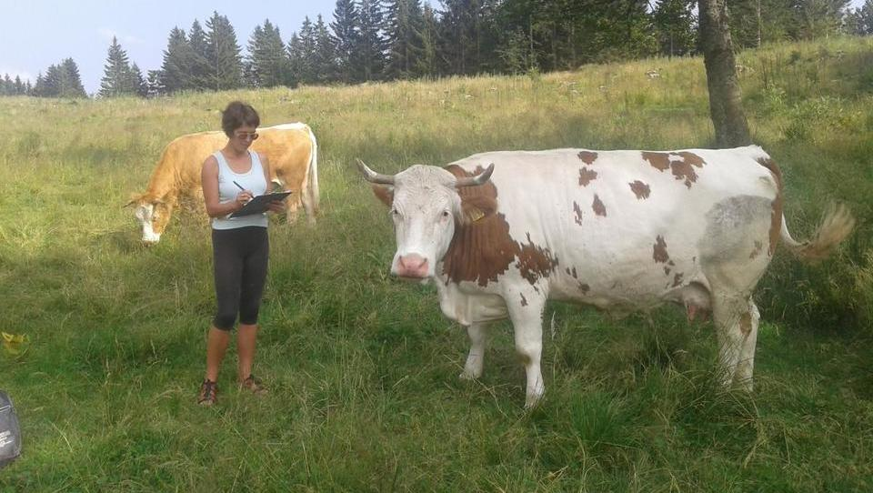 V alpskem delu Slovenije so krave bolj srečne kot v Italiji in Avstriji