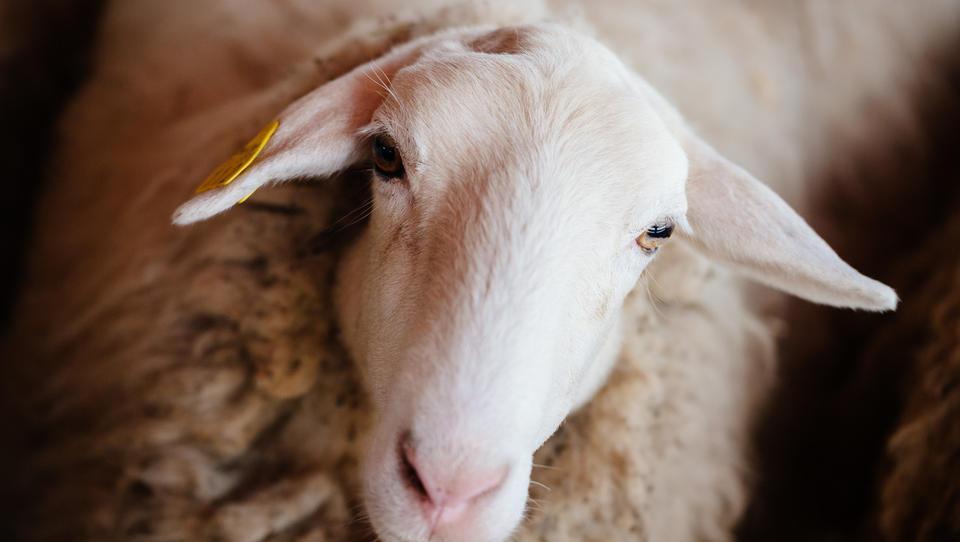 Vučji ogrizek: z ovčjimi siri do dveh delovnih mest na kmetiji