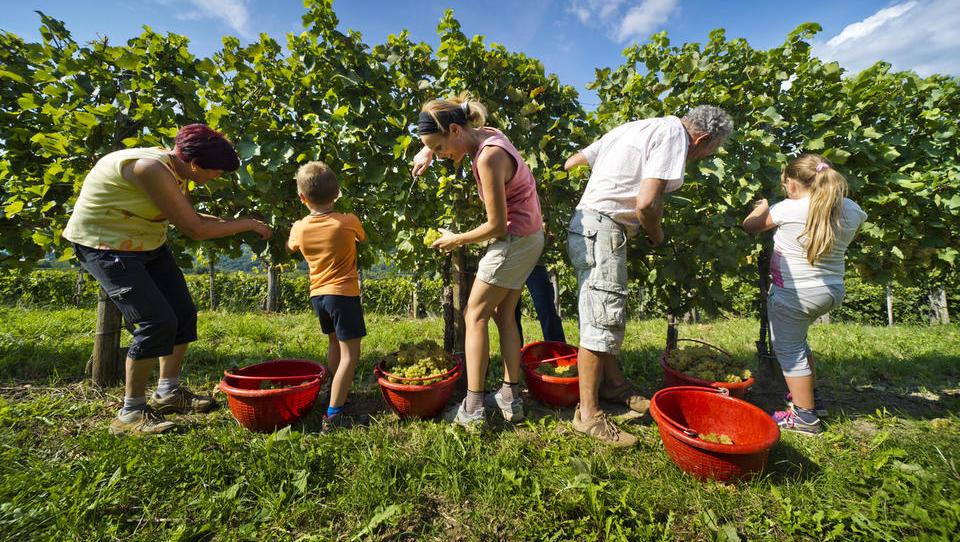 Trgatev: v Kleti Brda pričakujejo malo skromnejši, a po kakovosti zelo dober letnik vina