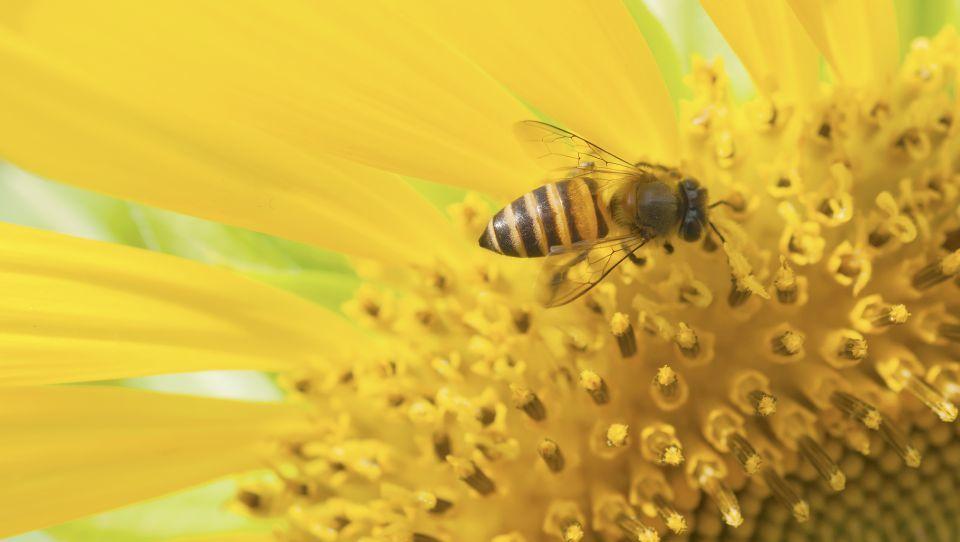Evropski poslanci pozivajo k boljši zaščiti zdravja čebel in boju proti ponarejenemu medu