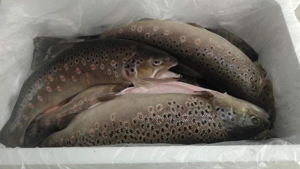 Sveže slovenske ribe bodo na spletu kmalu kupovali tudi Hrvatje, Avstrijci in Nemci