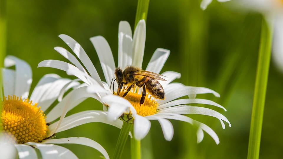 Kako bo Otmar Zorn z laserji ščitil čebele