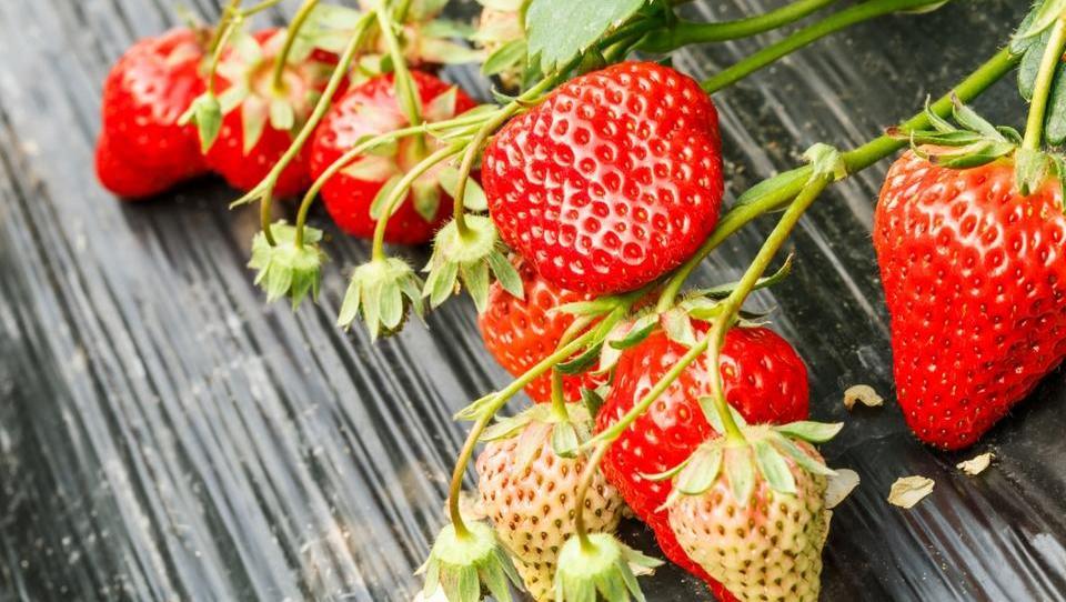Vse več jagod raste v tunelih in rastlinjakih