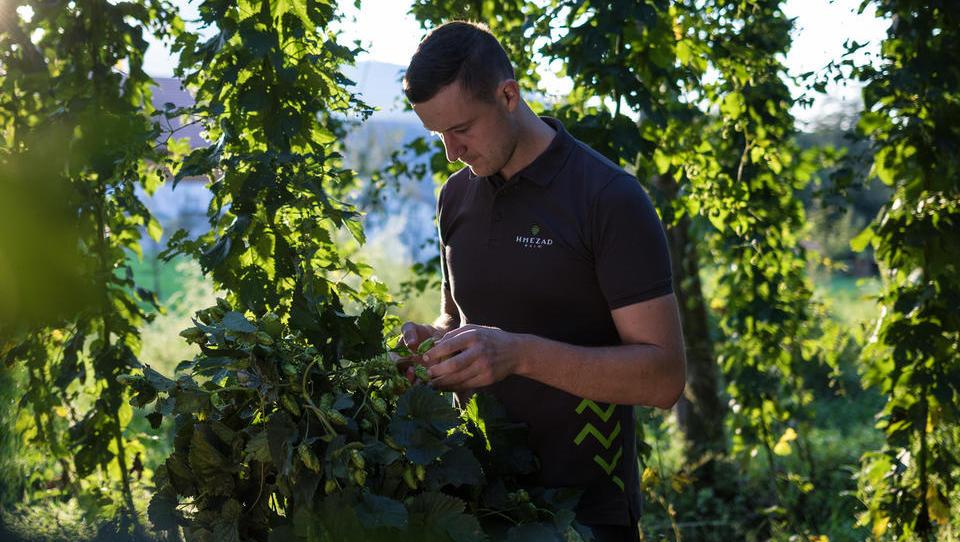 Priložnosti v hmeljarstvu: pivovarji sklepajo dolgoročne pogodbe s pridelovalci, zanima jih povečanje nasadov