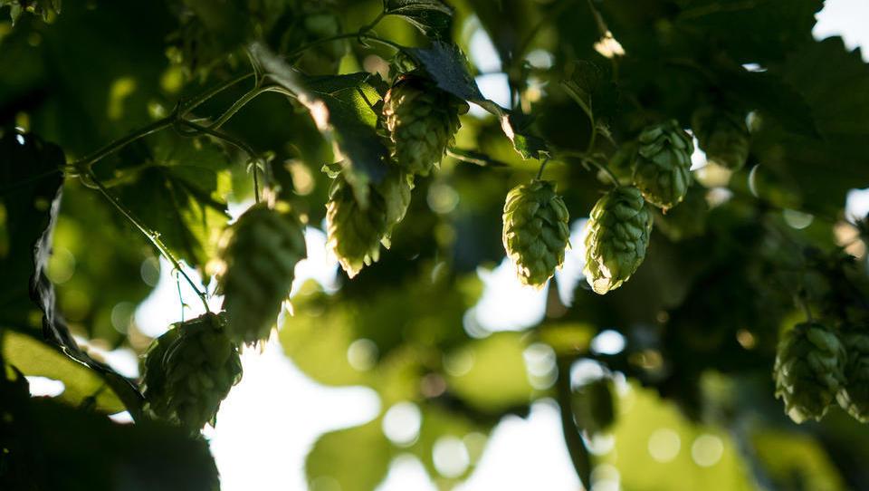 Po svetu rastejo proizvodnja piva in nova hmeljišča