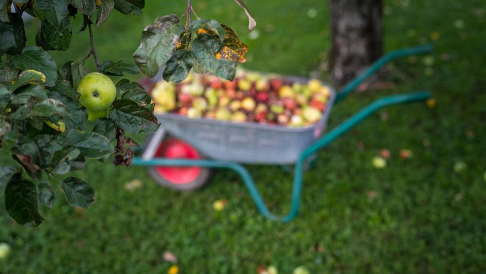 Sladke skrbi sadjarjev: letina je odlična, pa bodo vse prodali in po kakšni ceni?