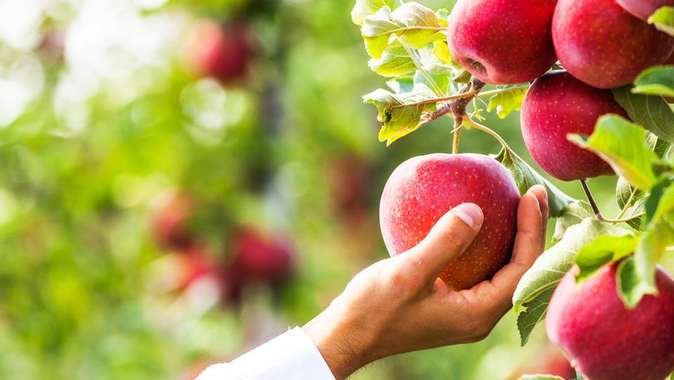 (video) Sadjarji iščejo rešitev v promoviranju svojega sadja in upajo na rast prodaje