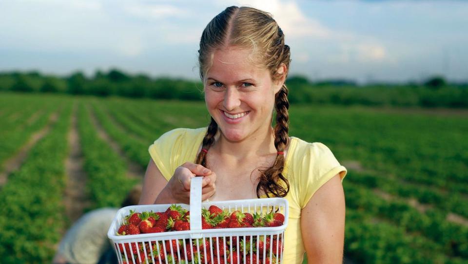 Panvita za obiranje jagod v Beltincih išče 250 sezonskih delavcev