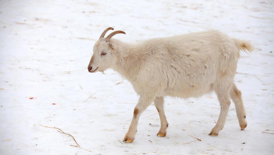V hudem mrazu živali rabijo več hrane kot sicer