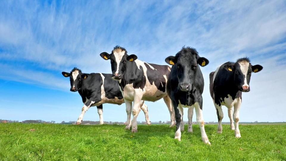 Konec januarja bo naprodaj prvo goveje meso izbrane kakovosti