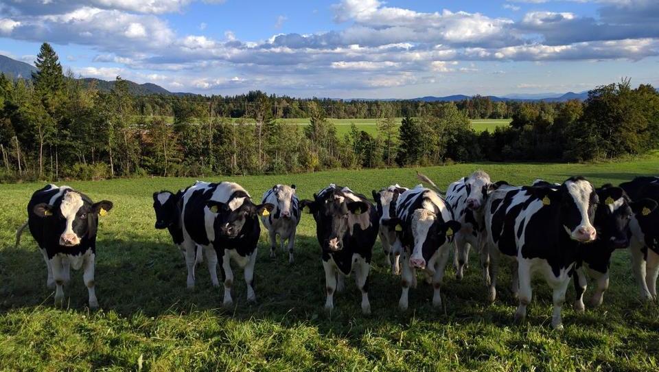 V prireji mleka je dohodek na enoto površine večji kot pri prireji mesa