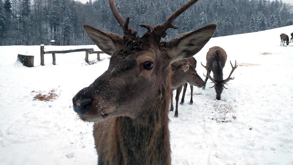 (video, foto) Domačija Lamperček: na ogled jelenov prihajajo predvsem tujci