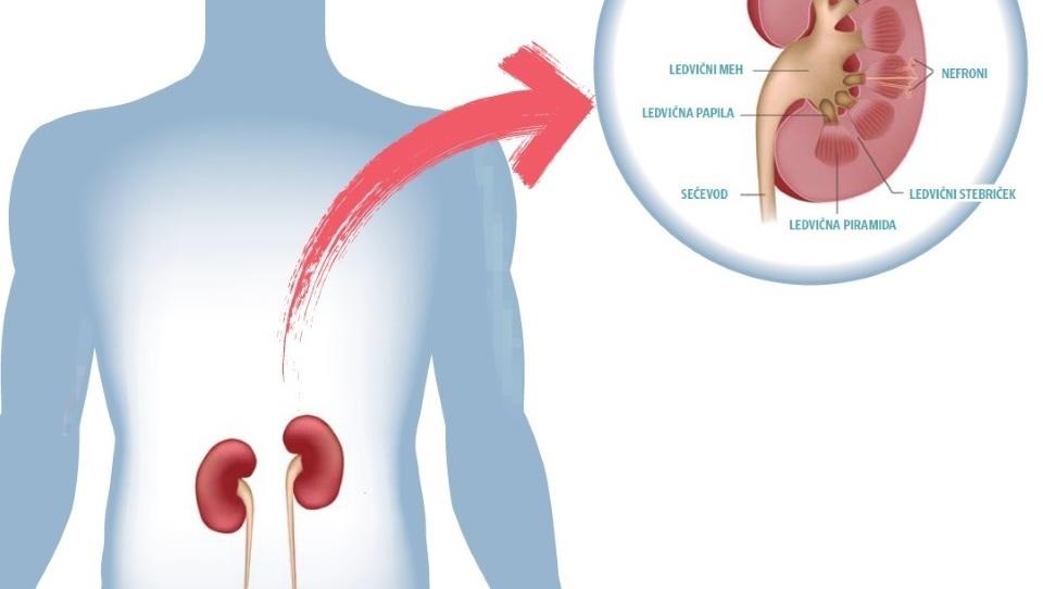 Kako delujejo ledvice