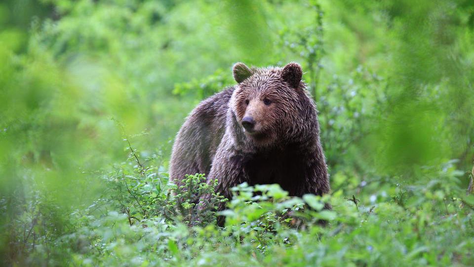 Ali naredi medved več škode kot politik?