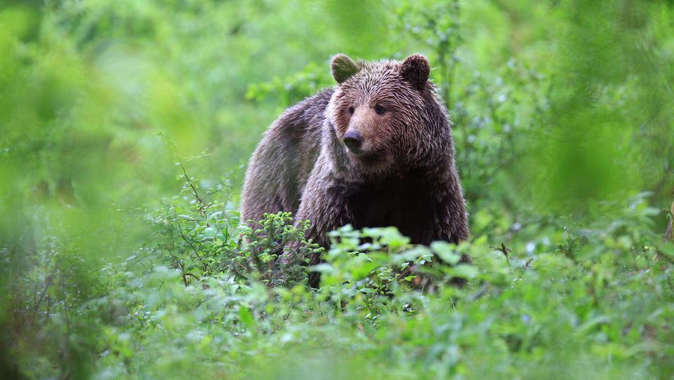 Vlada bo še enkrat odločala o odvzemu rjavega medveda