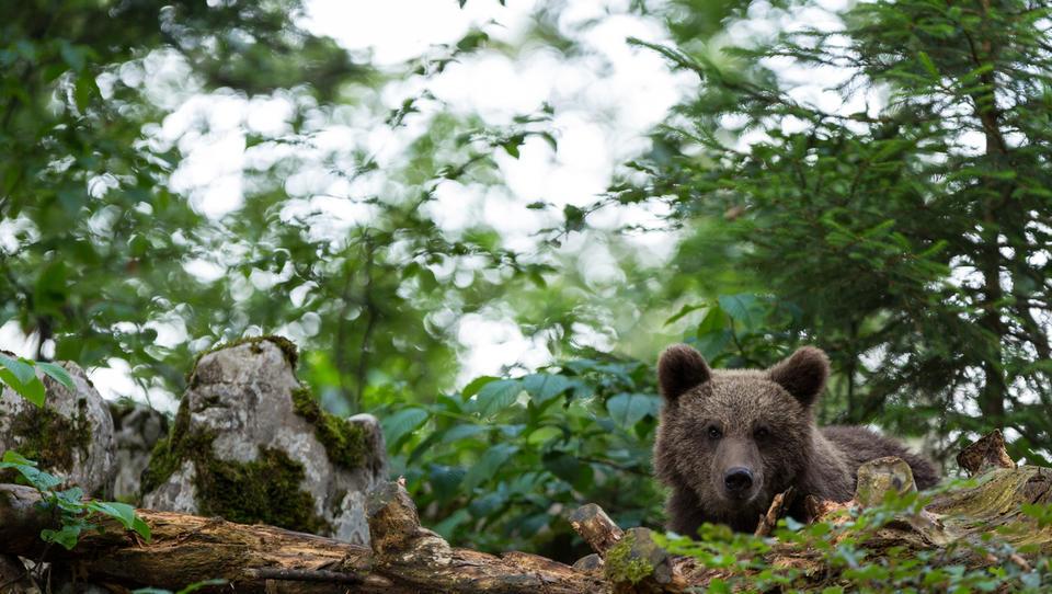 KGZS: zaradi letošnje prepovedi odstrela 175 medvedov jih bo v prihodnje treba odvzeti še več