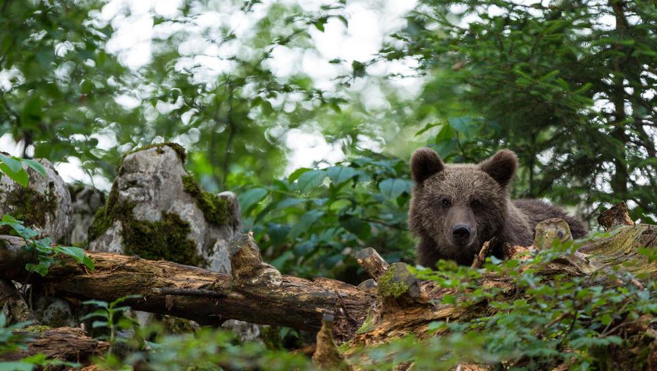 Odstrel medveda začasno ustavljen