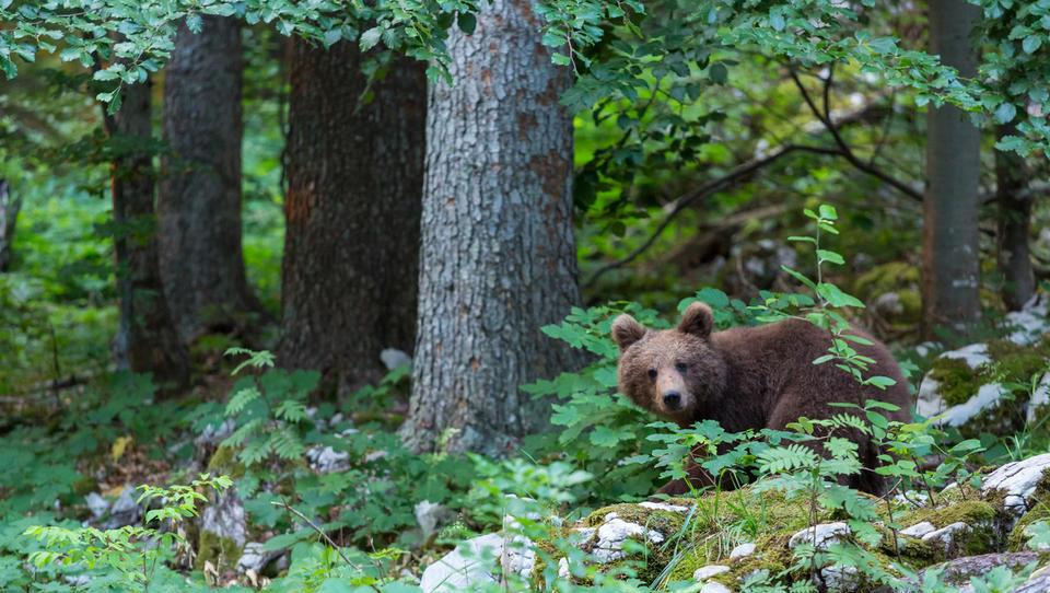 Kmetje svarijo pred nepopravljivo škodo zaradi neodstrela medvedov