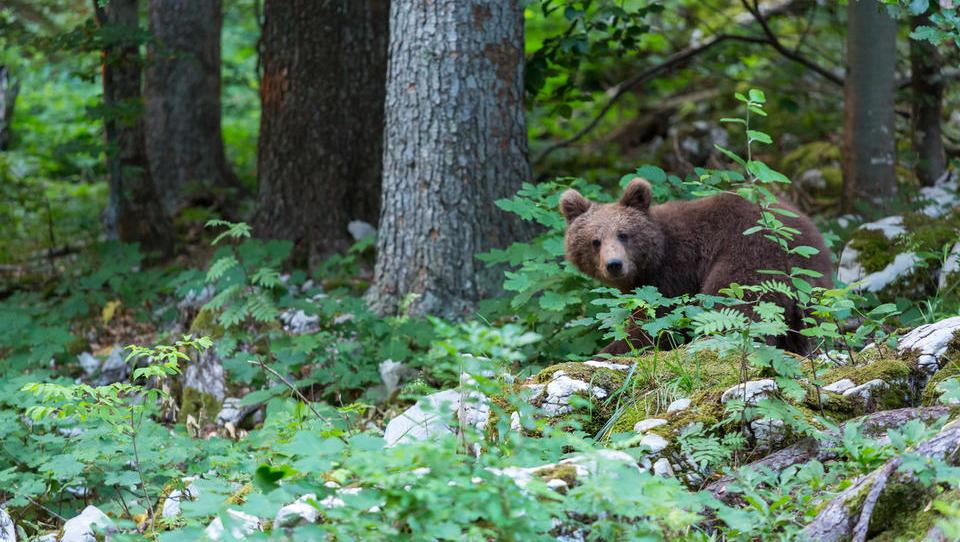 Zavod za gozdove o pomembnosti odstrela rjavega medveda