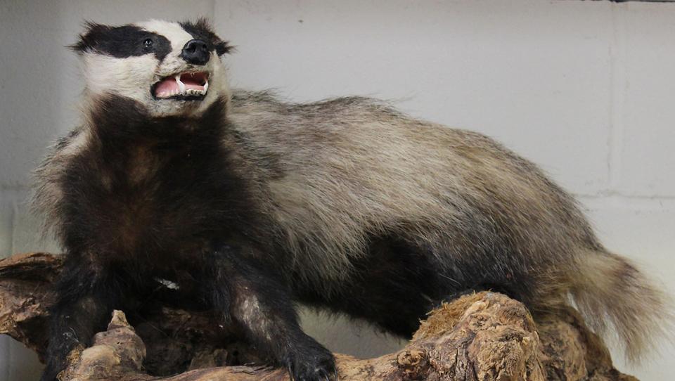 Pred sejo nadzornikov SDH smo preverili: koliko stane nagačen jazbec
