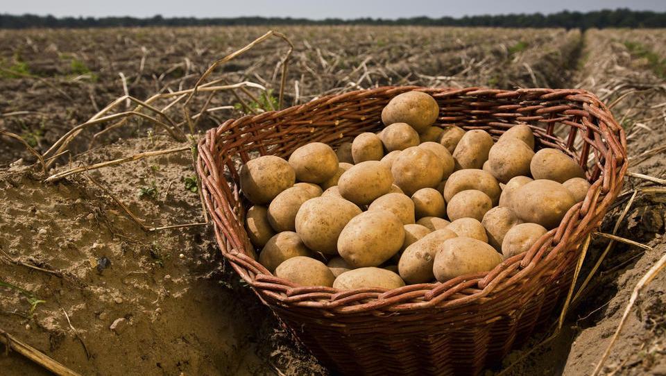 GIZ krompir: Prizadevamo si za primerljive odkupne cene, kot so v zahodni Evropi