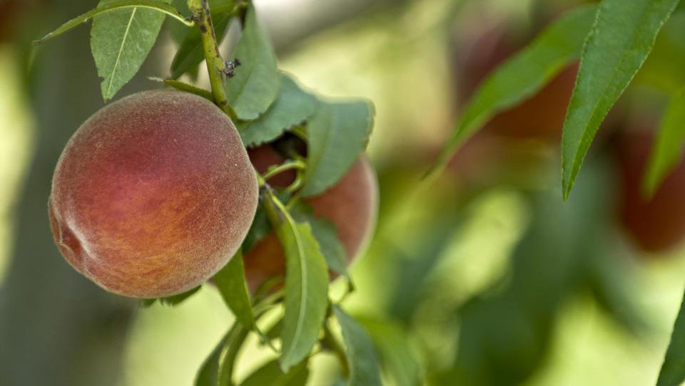 Fructal povečal odkupno ceno za vipavske breskve glede na lani