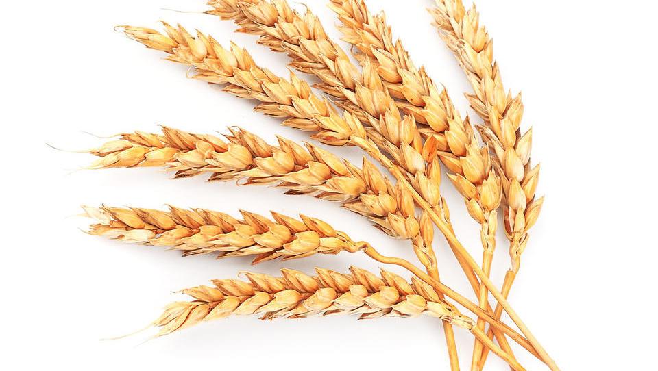 Kmetijsko ministrstvo do ocene škode brez odločitve o pomoči pridelovacem pšenice