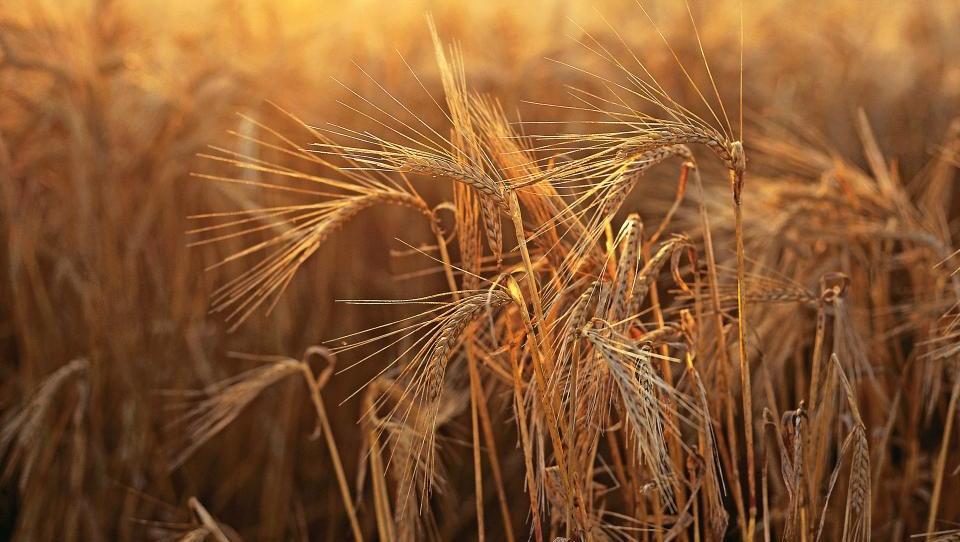 Raste odkup v Sloveniji pridelane pšenice
