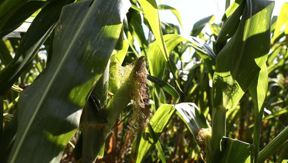 Zaradi suše bo v Pomurju manj koruze