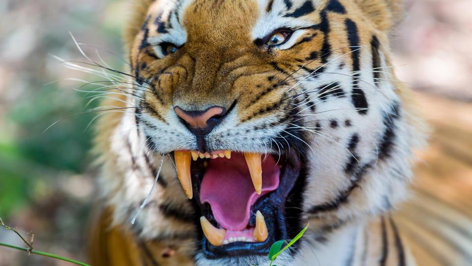 Balkanski tiger. Ne Slovenija, to je Romunija