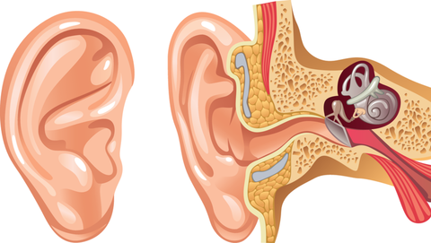 Kako deluje uho - medicina.finance.si