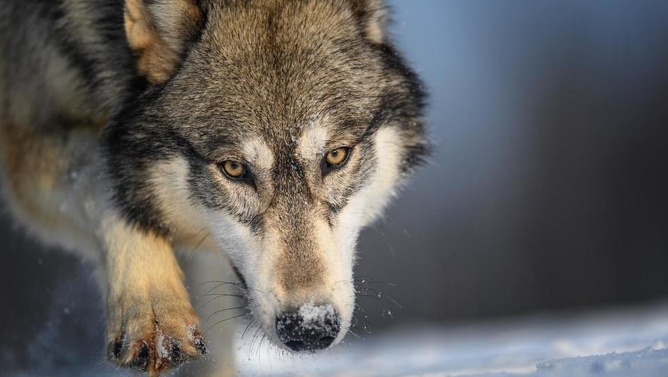 Volkovi se selijo na nova območja, zato je lahko več škode na pašnikih