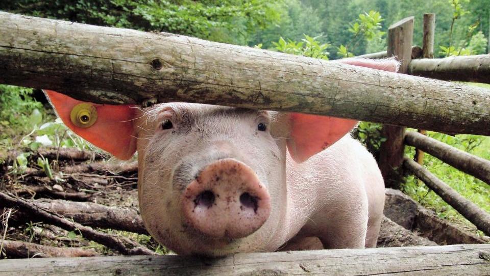 Ljutomerčanov novi hlev za plemenske svinje je obvisel v zraku