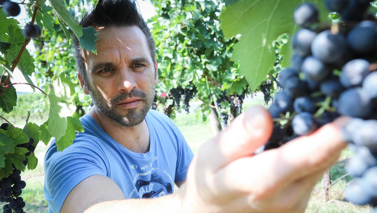 Od zemlje do vina: Letina bo kakovostna in hkrati količinsko bogata, kot že dolgo ne